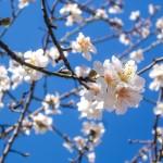 almond-blossom